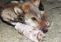 ارائه لایحه مقابله با حیوان آزاری به دولت