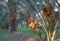 نخلستان دهسلم در فهرست میراث طبیعی ثبت شد