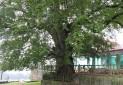 ثبت درخت كهنسال مازندران در فهرست آثار ملی