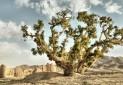 ثبت سروهای کهنسال نوغاب در فهرست میراث طبیعی
