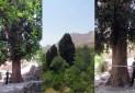 سرو کهنسال دربید یزد ثبت ملی شد