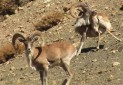 صدور مجوز شکار برای پنج استان