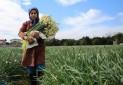 دومین جشنواره گل نرگس در جویبار برگزار می شود