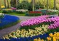 باغ های زیبا و بدون بازدیدکننده لاله هلند در دوران کرونا!