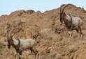 افزایش غیرعادی کل و بز در پارک ملی سیاه کوه