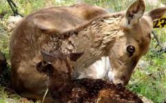 گوزن زرد در سال 95 تعیین تکلیف می شود/ برنامه اقدام سیاه گوش و گربه شنی تهیه شده است