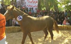 برگزاری جشنواره ملی زیبایی اسب اصیل ترکمن در بجنورد