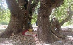 ثبت درخت چنار 700 ساله گرمه علیا در فهرست آثار ملی