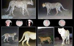 شناسایی یوزپلنگ تلف شده در توران