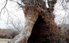 ثبت چنار کهنسال اسماعیل آباد در فهرست میراث طبیعی