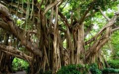 بزرگترین درخت گردو هم ثبت ملی شد