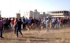 نبرد خونین سگ گلادیاتورها به خاطر یک مشت اسکناس