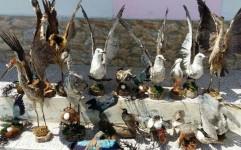 کشف بیش از 60 قطعه پرنده تاکسیدرمی از شکارچی متخلف آملی