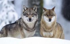دستگیری شکارچیان گرگ در خراسان شمالی