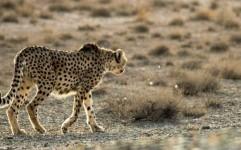 وجود 8 گونه شناخته شده گربه سانان ایران در خراسان رضوی