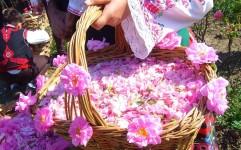 استقبال گردشگران داخلی و خارجی از برگزاری جشنواره گلاب گیری در کاشان