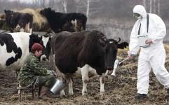 آثار حادثه چرنوبیل در شیر گاوهای اوکراین پیدا شد