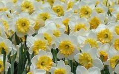 هفتمین جشنواره گل نرگس کازرون برگزار می شود