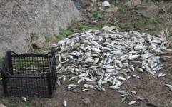 ماهی هایی که در تالاب میانگران ایذه جان می دهند