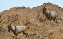 اصلی ترین زیستگاه یوز ایرانی در خطر