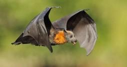 خفاش ها هم قربانی شایعه سودجویان شده اند