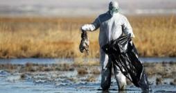 ۱۰ هزار قطعه پرنده مهاجر و بومی در تالاب میانکاله تلف شد