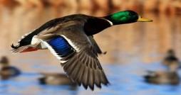 تلفات ۵۲۰۰ پرنده مهاجر در گلستان