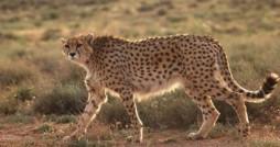 چتر پوشش اینترنت برای حفاظت از یوزپلنگ ها در استان سمنان