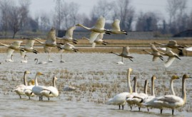 تالاب های مهاباد میزبان ۳۰ هزار پرنده مهاجر