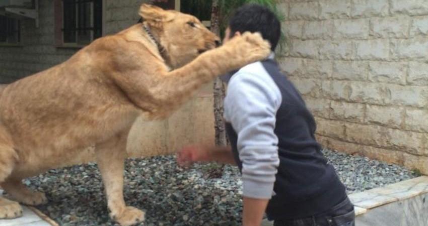 مخالفت محیط زیست تهران با نگهداری ببر بنگال و شیر در یک باغ شخصی