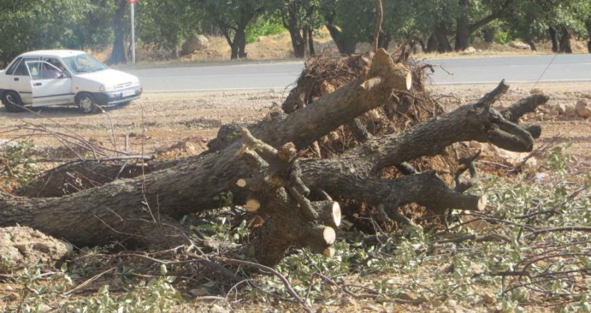 قطع درخت 400 ساله برای انتقام گیری از پلیس راهور