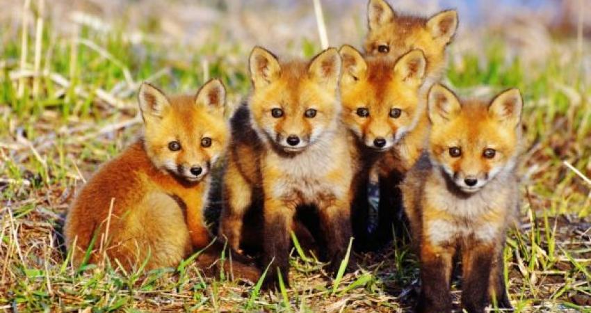وب سایت پرورش روباه، شکار شد