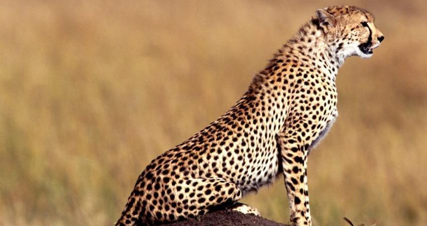 تدوین برنامه ملی برای محافظت از بزرگترین گربه سان ایران به پایان رسید