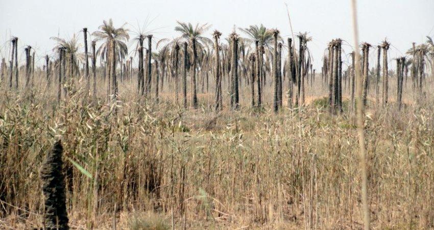 نابودی 400 هزار نخل در اروندکنار