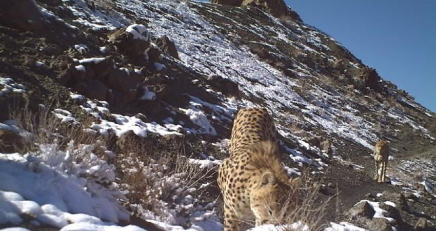 دره انجیر، شاهراه ارتباطی یوزپلنگ ها در کویر مرکزی ایران