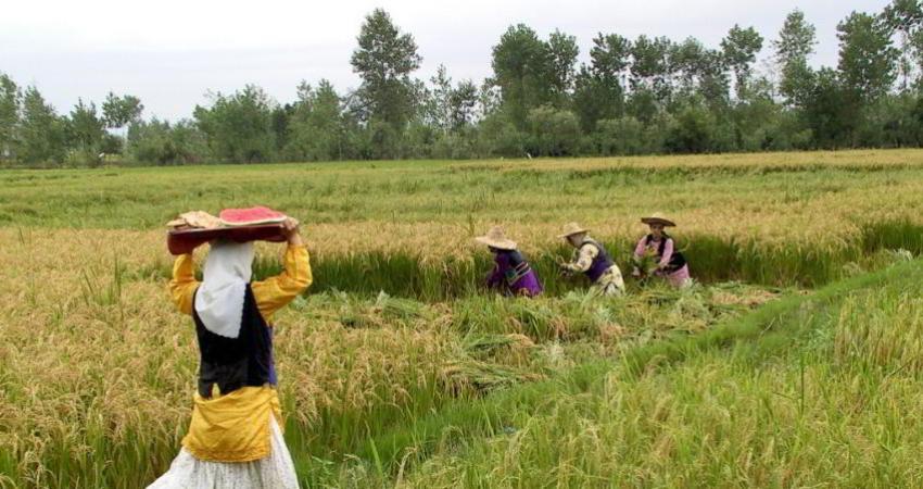بذرهای دستکاری شده ژنتیکی یکی از موانع اصلی در راه توسعه کشاورزی پایدار
