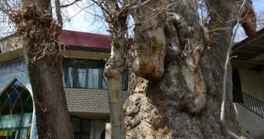 ثبت 6 درخت کهنسال البرز در فهرست میراث طبیعی ملی