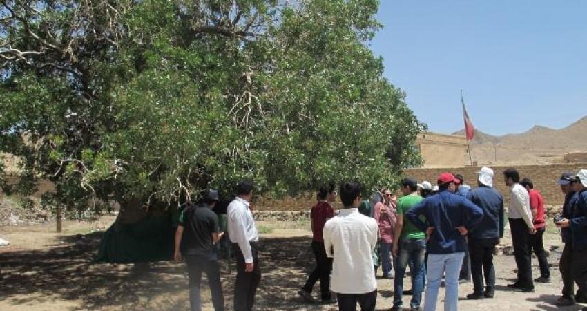 درخت کهنسال بنه کمکوئیه، در فهرست میراث طبیعی ثبت شد