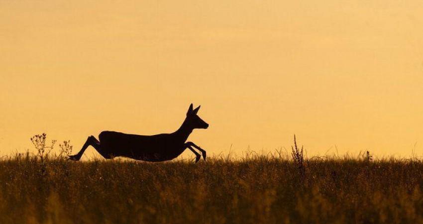 تصاویر منتخب مسابقه عکاسی از پستانداران