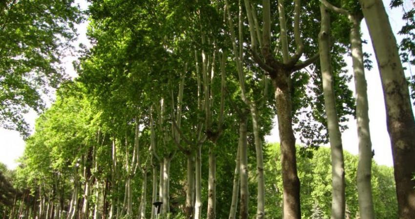 درختان کهنسال چنار، جاذبه گردشگری طبیعی در باغ موزه سعدآباد