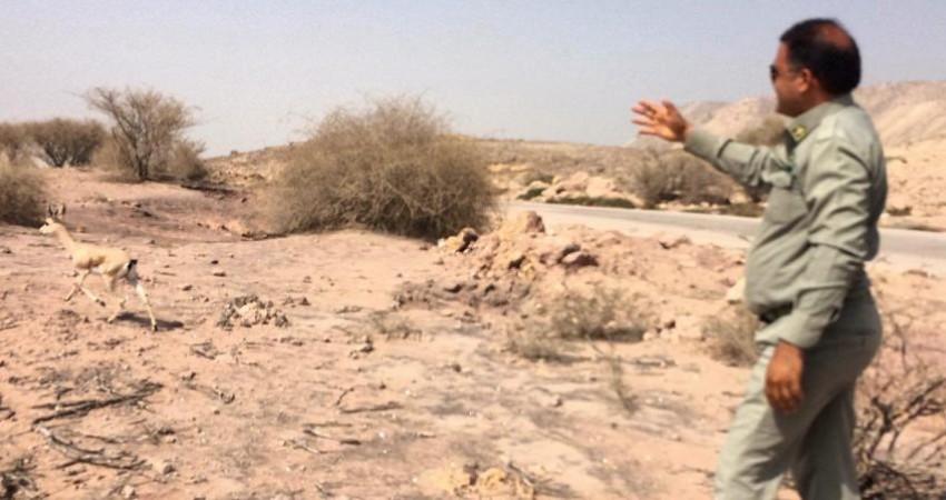 جبیر شکار شده در قشم زنده به دامن طبیعت بازگشت