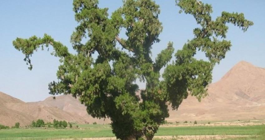 ثبت 7 درخت کهنسال خراسان جنوبی در فهرست میراث طبیعی
