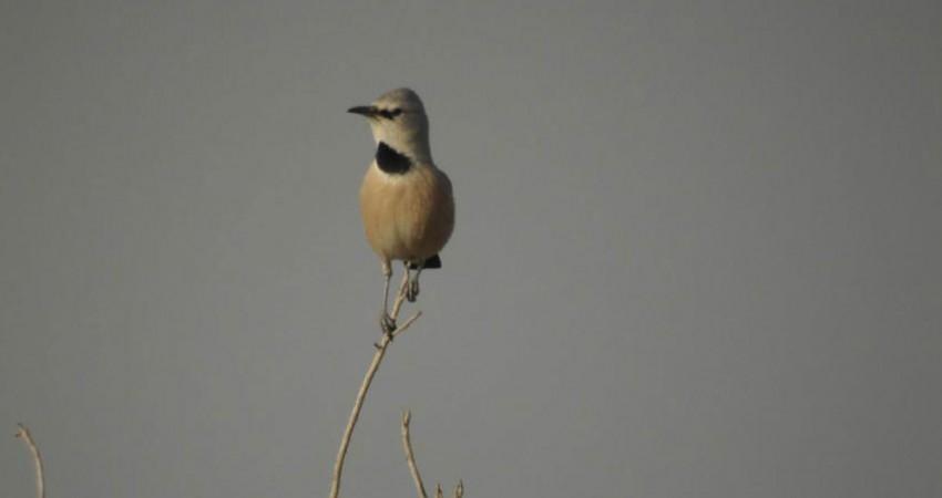 کویر لوت، زیست گاه پرنده ملی ایران