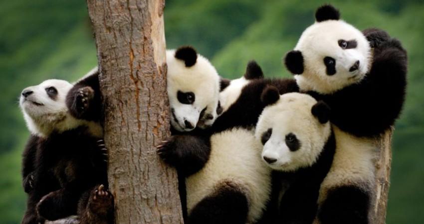 پاندای غول پیکر از فهرست گونه های در معرض خطر خارج شد