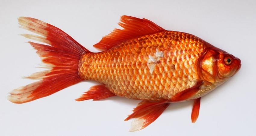 هشدار درباره رهاسازی ماهی قرمز در طبیعت