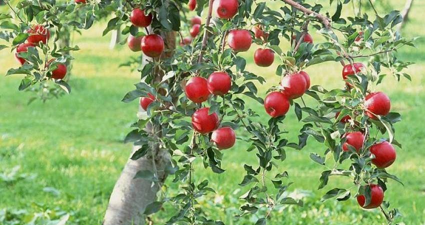 باغ سیب کرج تحت حمایت میراث فرهنگی است