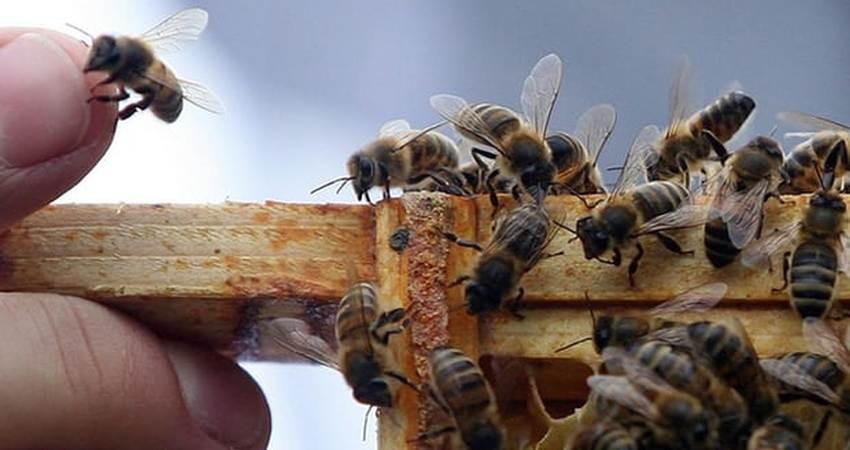 قارچ کش ها یک عامل کاهش جمعیت زنبورها