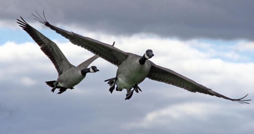 تلف شدن ۳ هزار پرنده وحشی در پارک ملی بوجاق