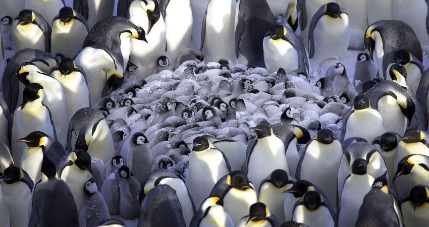 پنگوئن های پادشاه در دوراهی مهاجرت یا مرگ