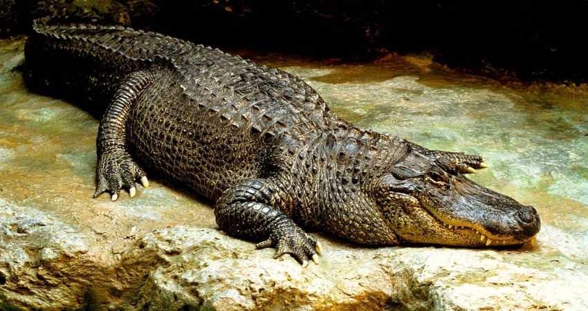 زیستگاه تمساح های پوزه کوتاه جاذبه ای زیبا و بکر برای گردشگران